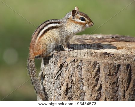 Eastern Chipmunk On A Tree Stump At A Campsite