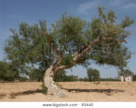 Old tree in a desert landscape (Djerba, Tunisia). poster