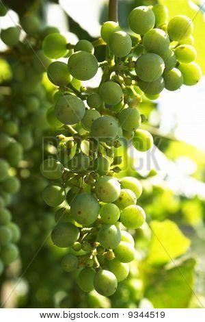Grape Racemation