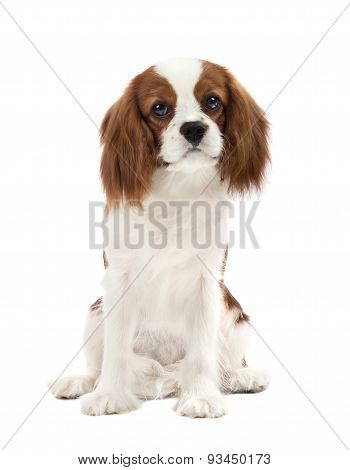 pure-bred dog puppy Cavalier King Charles Spaniel lie on white background isolated poster