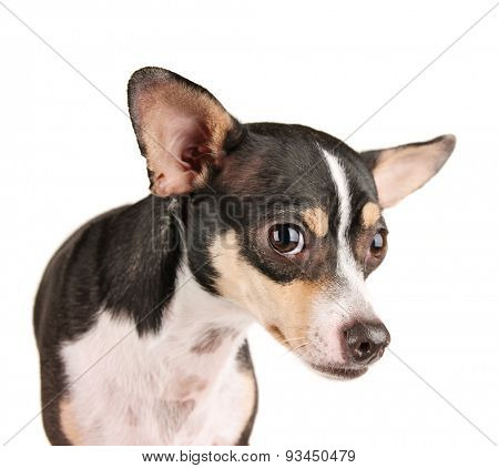 a cute rat terrier chihuahua mix looking scared isolated on a white background studio shot looking at the camera