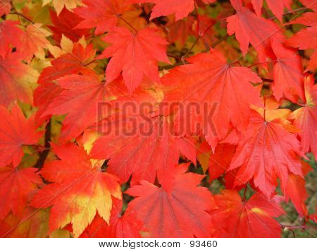 Japanes Maple Leaves Changing Colour - 4