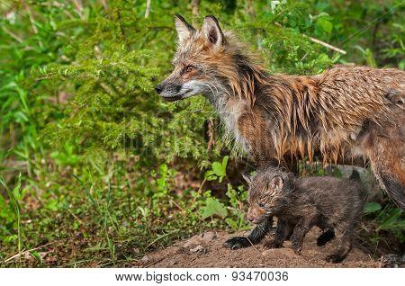 Red Fox Vixen And Kit (vulpes Vulpes) Look Left