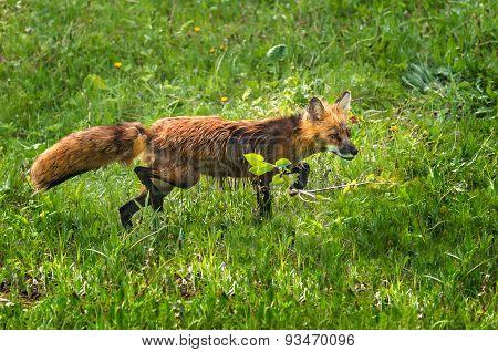 Red Fox Vixen (vulpes Vulpes) Stalks Through The Grass
