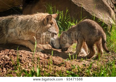 Grey Wolf (canis Lupus) Mother And Pup Touch Outside Den