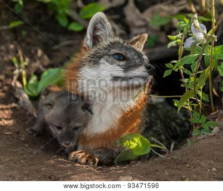 Grey Fox Vixen (urocyon Cinereoargenteus) With Kit Under Her Leg