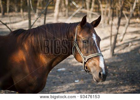 Braun Horse Walks Among The Trees