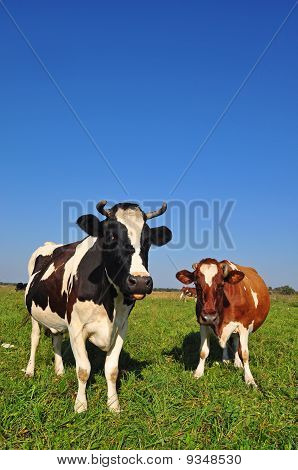 poster of Cows on a summer pasture in a rural landscape under the dark blue sky