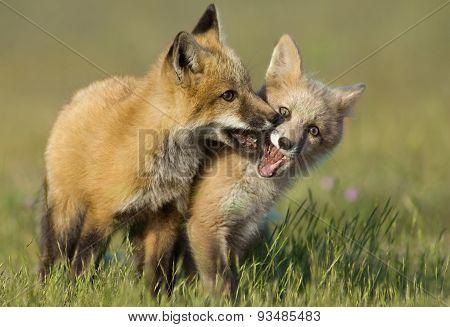 Young Fox Kits Playing