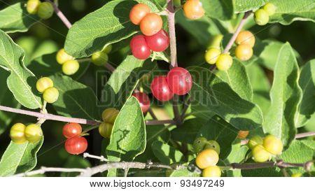 Privet Shrubbery Berries. Red berries.