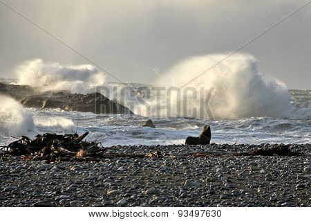 Fur Seal On The Shore