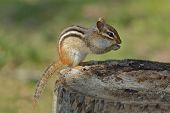 An Eastern Chipmunk (Tamias striatus) eats a seed from between its front paws as it sits on a tree stump at a campsite - Pinery Provincial Park Ontario Canada poster