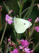 Male Large White butterfly feeding on Rosebay Willowherb poster