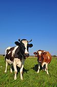 Cows on a summer pasture in a rural landscape under the dark blue sky poster