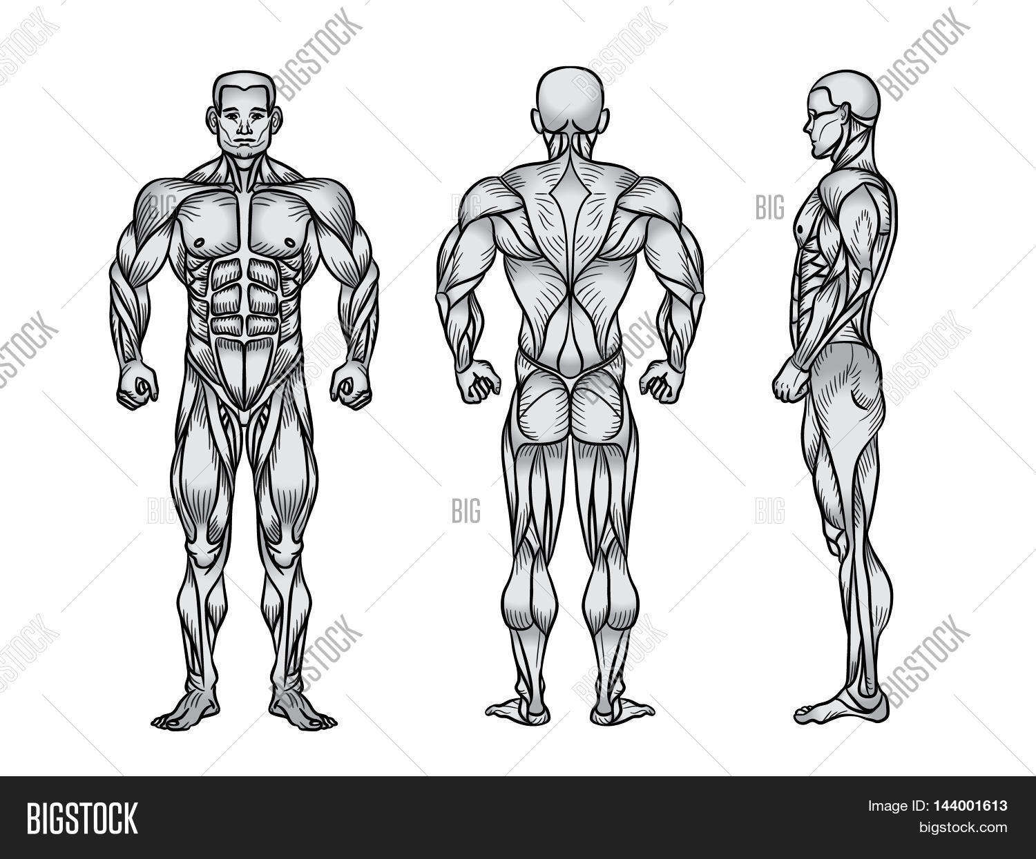 Anatomy Male Muscular Image & Photo (Free Trial) | Bigstock