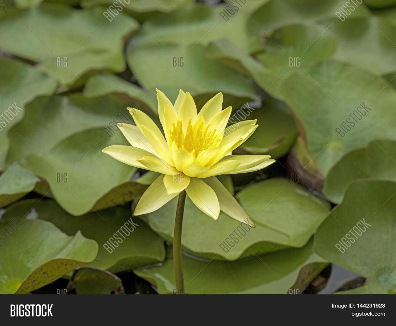 Yellow Lotus Flower Image Photo Free Trial Bigstock