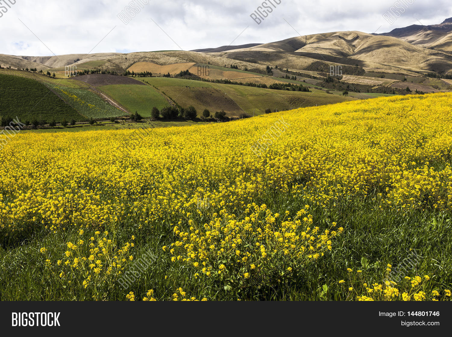 Canola yellow flowers image photo free trial bigstock canola yellow flowers crops in ecuadorian andes mightylinksfo