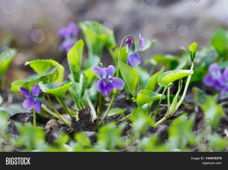 Closeup Purple Flowers Image Photo Free Trial Bigstock