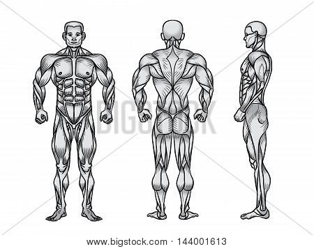 Anatomy Male Muscular Image & Photo (Free Trial) | Bigstock
