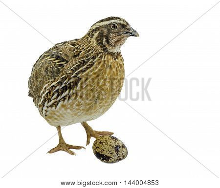 Laying hen of domesticated quail with egg isolated on white background.  Domesticated quails are important agriculture poultry