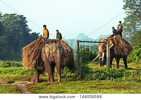 CHITWAN, NEPAL - OCTOBER 16, 2008: Unidentified local people are carrying hay on elephants Chitwan National park, Nepal. The park become a Unesco World Heritage Site in 1984.
