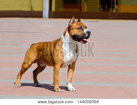 American Staffordshire Terrier profile.  The American Staffordshire Terrier is in the city park.