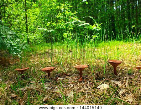 inedible mushrooms of toadstool growing in the row in the forest
