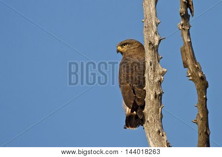 Brown snake eagle perched on a dead tree with a vibrant blue sky background