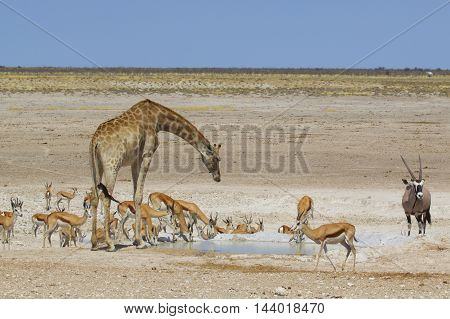 Busy waterhole in Etosha with a giraffe bending to take a drink surrounded by springbok and a gemsbok oryx