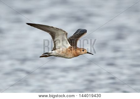Ruff (Philomachus pugnax) in flight with blue water in the background