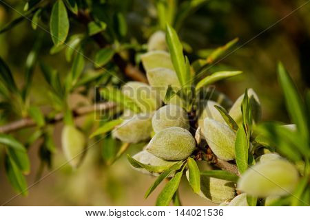Almond nuts on the branch in Provence, France