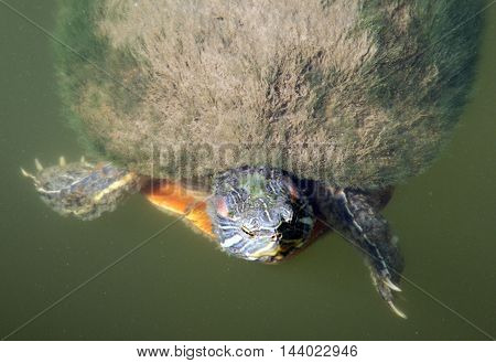 Curious turtle poking his head through the surface of the water in a pond