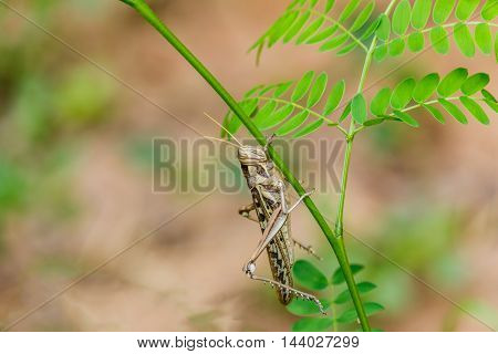 Big Brown grasshopper caught on green branches.