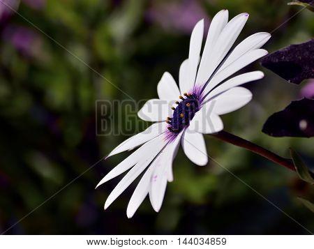 A close up of an Osteospermum flower