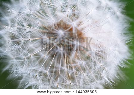 Dandelion seeds in the morning sunlight. Close up shoot