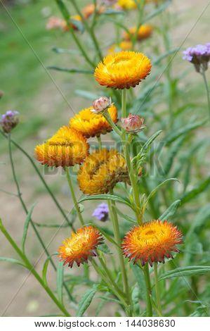 Straw flower Everlasting flowers in the garden