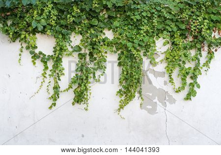 Ivy covered fence background