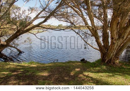 Peaceful Herdsman lake waters with treed wetlands under a blue sky in Western Australia. poster