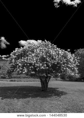 Blooming Tree (b&w)