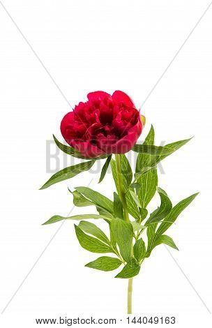 Flowers. Red piones beautiful isolated on white