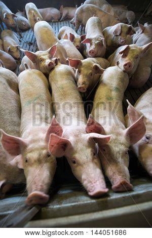 pigs in pig sty on arganic farm