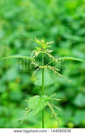 Stinging nettle and ant on a green background