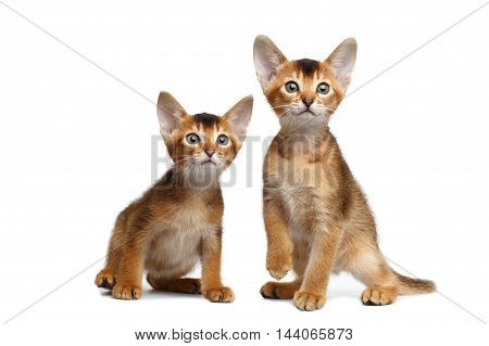 Two Cute Abyssinian Kittens Sitting and Curious Looking in Camera on Isolated White Background, Front view, Baby Animal