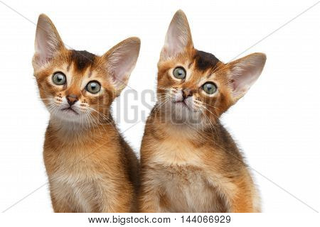 Closeup Two Cute Abyssinian Kittens interesting Looking in Camera on Isolated White Background, front view