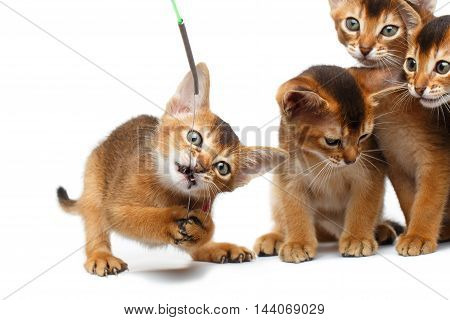 Closeup Playful Group of Abyssinian Kittens Hunting for the toy Isolated White Background, Raising up paws, four Funny cat, Curious face