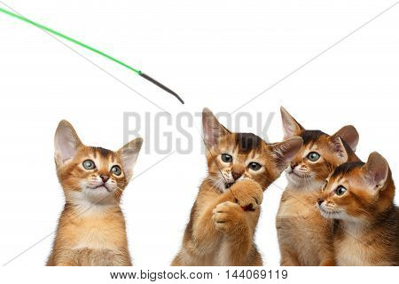 Closeup Playful Group of Abyssinian Kitten Hunting for the toy Isolated White Background, Raising up paws, four cats