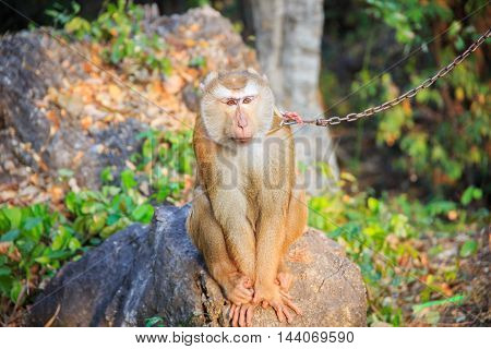Southern pig-tailed macaque being bound with chains