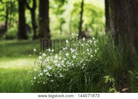 Beautiful tender white flowers in a park
