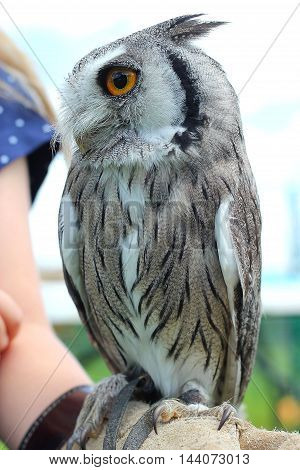 Southern White Faced Scops Owl (Male) being held by a young girl at a falconry display . Bird of prey .