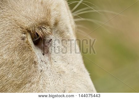 close-up view of a white Lions long eyelashes with a burry background